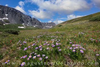 wildflowers, grays peak, stevens gulch, hiking, colorado hiking, 14ers, Grays peak trail, torreys peak trail, colorado wildflowers, summer, afternoon paintbrush, daisies