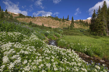 colorado wildflowers, berthoud pass, winter park, grand county, vasquez ridge, colorado wildflower photos, colorado landscapes, summer flowers, summer, stream