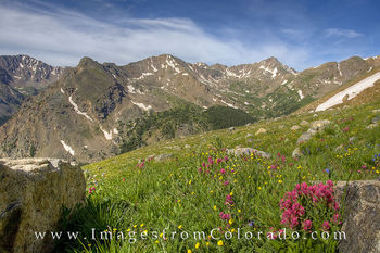 14ers, mount massive, mount oklahoma, wildflowers, colorado, summer, colorado wildflowers prints, hiking, colorado hikes