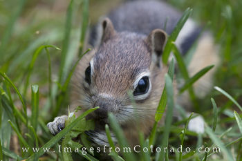pika, chipmunks, winter park, colorado wildlife, grand county