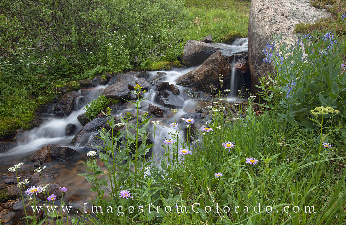 Taken on July 4, this intimate wildflower image was found along a creek off the beaten path using GPS. The alpine daisies were...