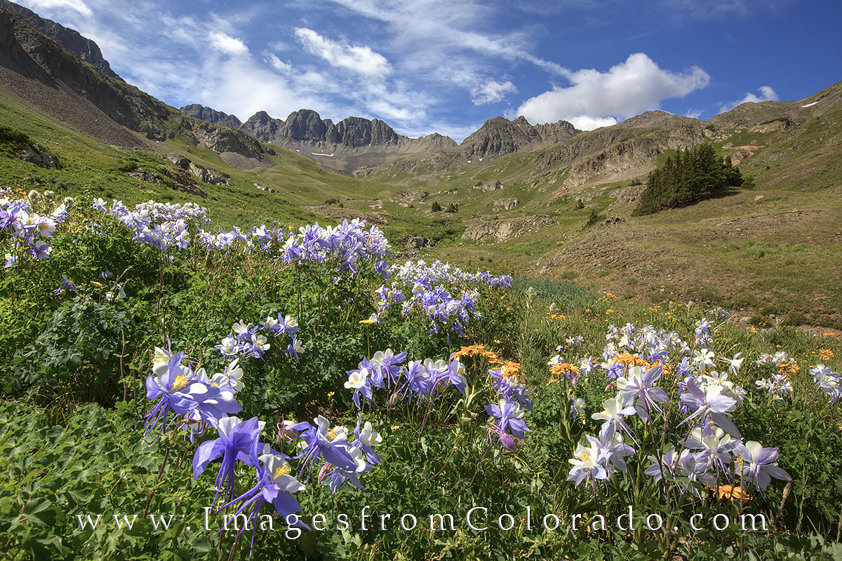 american basin, colorado wildflowers, lake city, handies peak, american basin images, lake city pictures, flowers, colorado images, photo