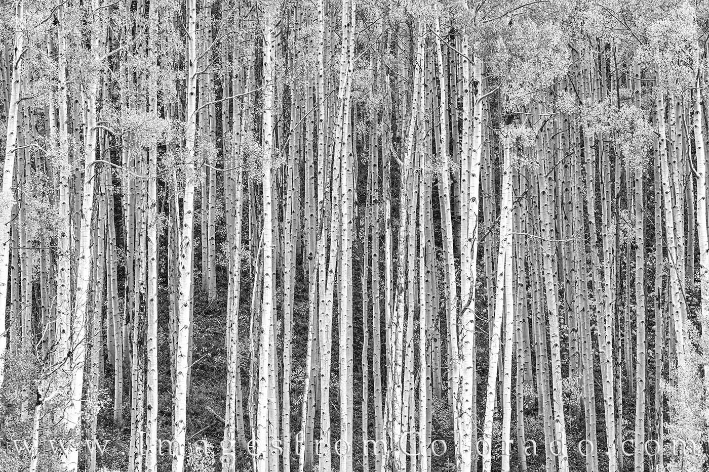 aspen, black and white, autumn, trees, leaves, photo