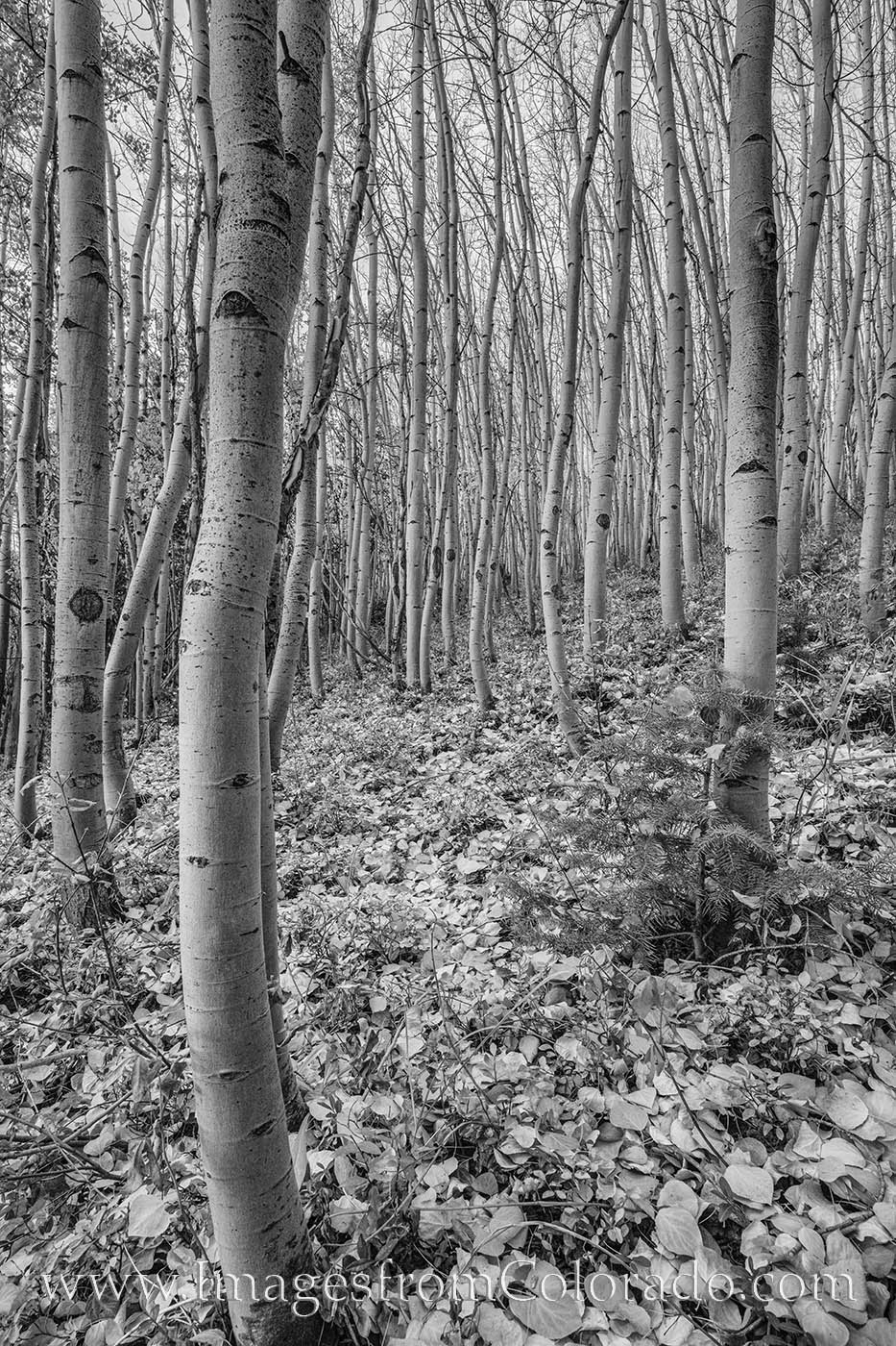 Near Fraser, Colorado, not far from Winter Park, most of the Aspen have lost their leaves as Autumn moves to Winter. Shown here...
