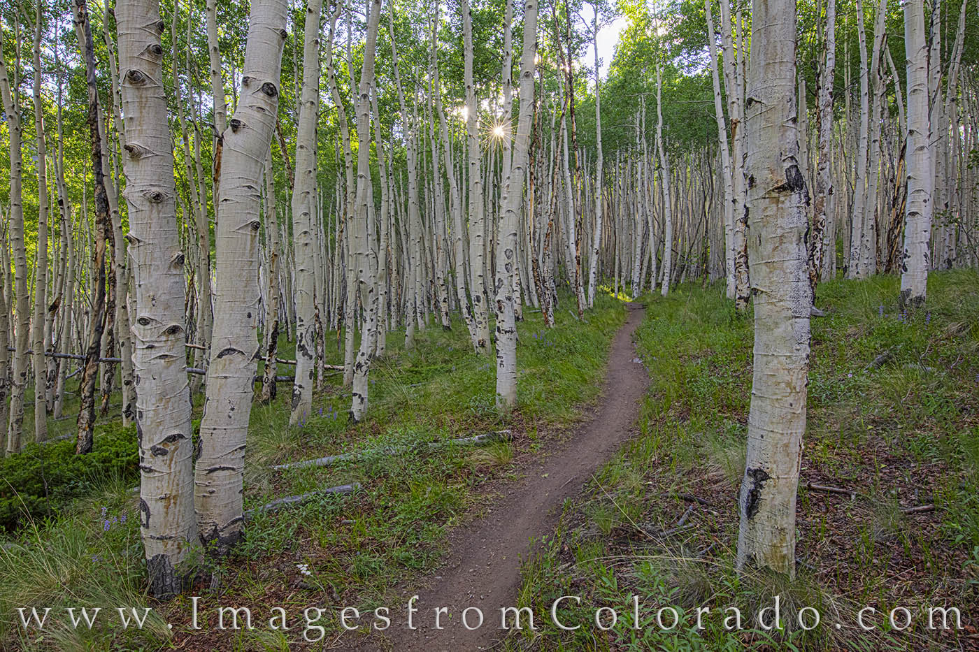 aspen, mt elbert, sunlight, trail, path, twin lakes, forest, sunshine, photo