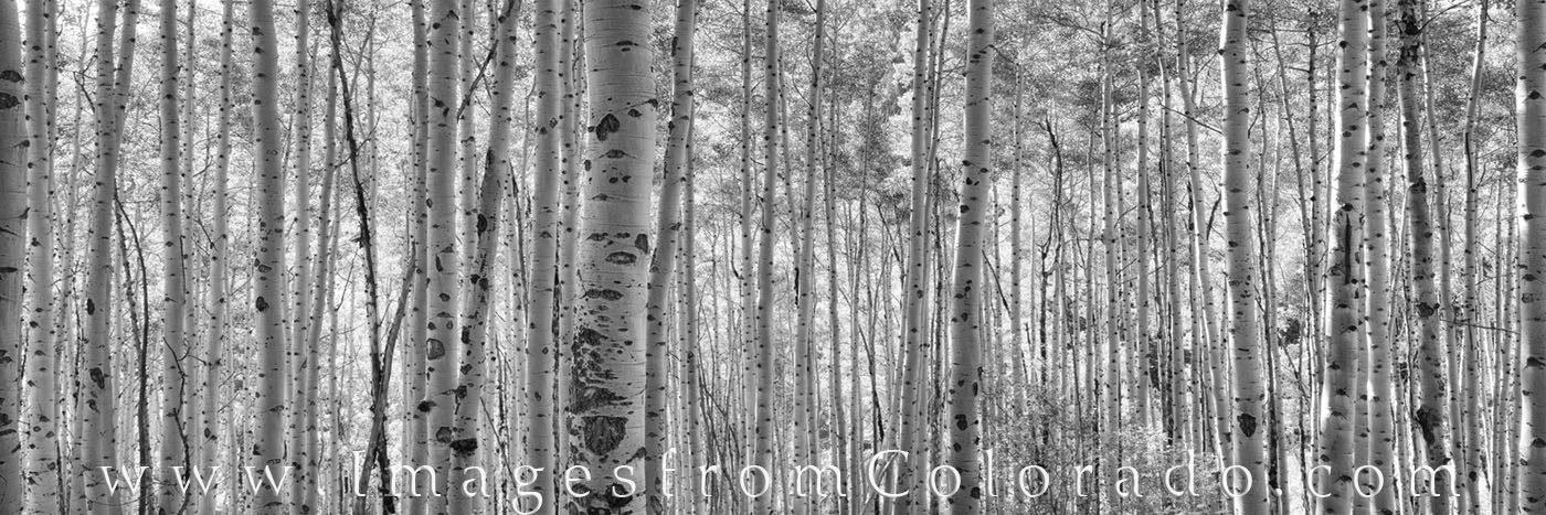 colorado black and white, maroon bells, maroon bells images, aspen images, aspen colorado, black and white, aspen trees, aspen black and white, aspen panorama, photo