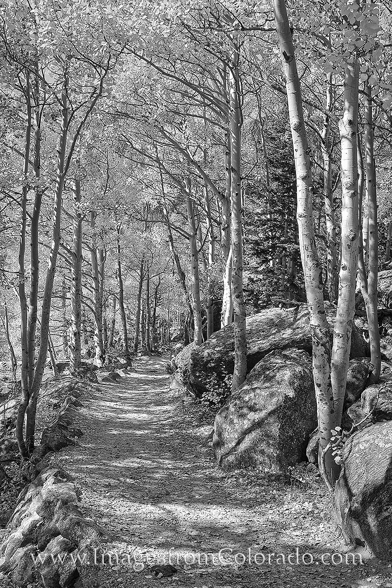 A trail leads through the Aspen in Rocky Mountain National Forest. Taken in mid October, this black and white photograph shows...