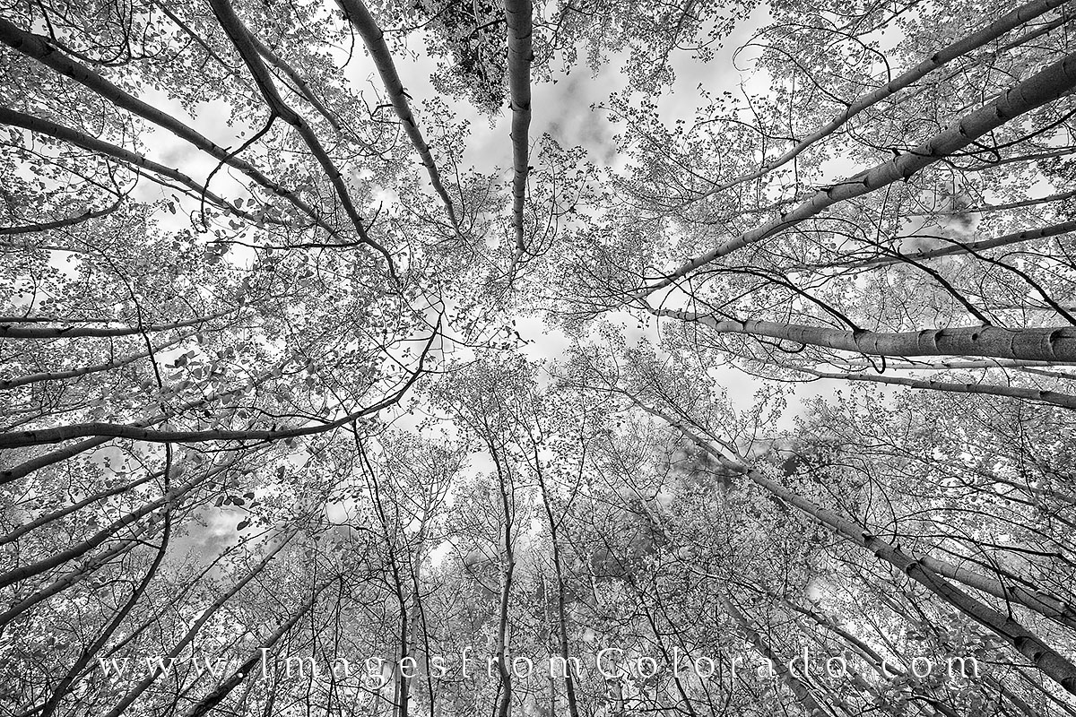 black and white, aspen trees, aspen leaves, aspen in black and white, colorado black and white, photo