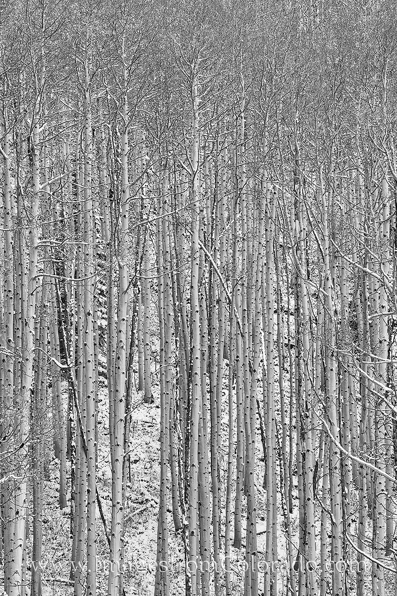 black and white images, black and white, maroon bells, aspen trees, maroon bells wilderness, aspen trunks, snow, autumn, october, maroon lake, solitude, photo