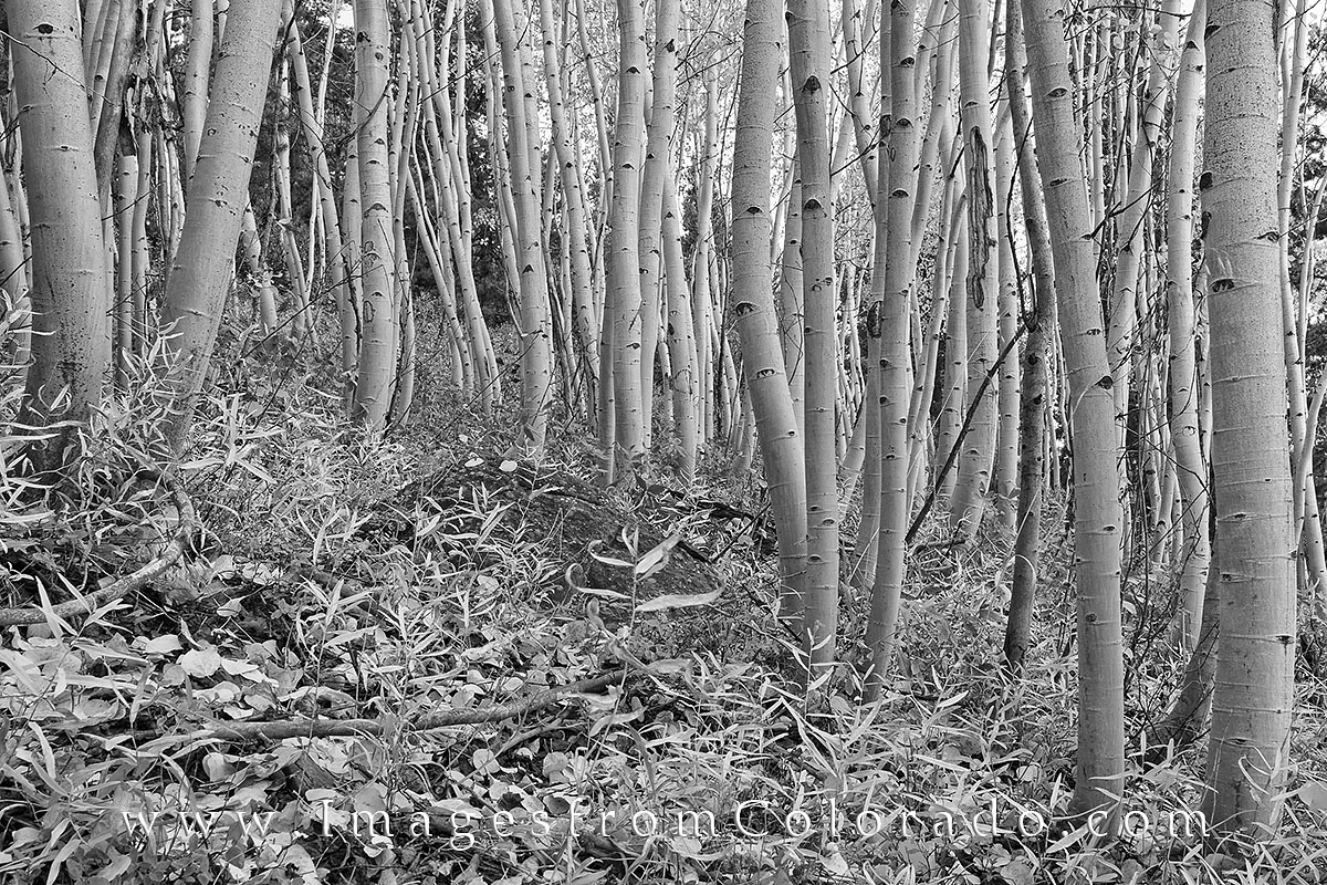 black and white, colorado, aspen, black and white photos, winter park, grand county, fraser, aspen trees, aspen trees black and white, photo