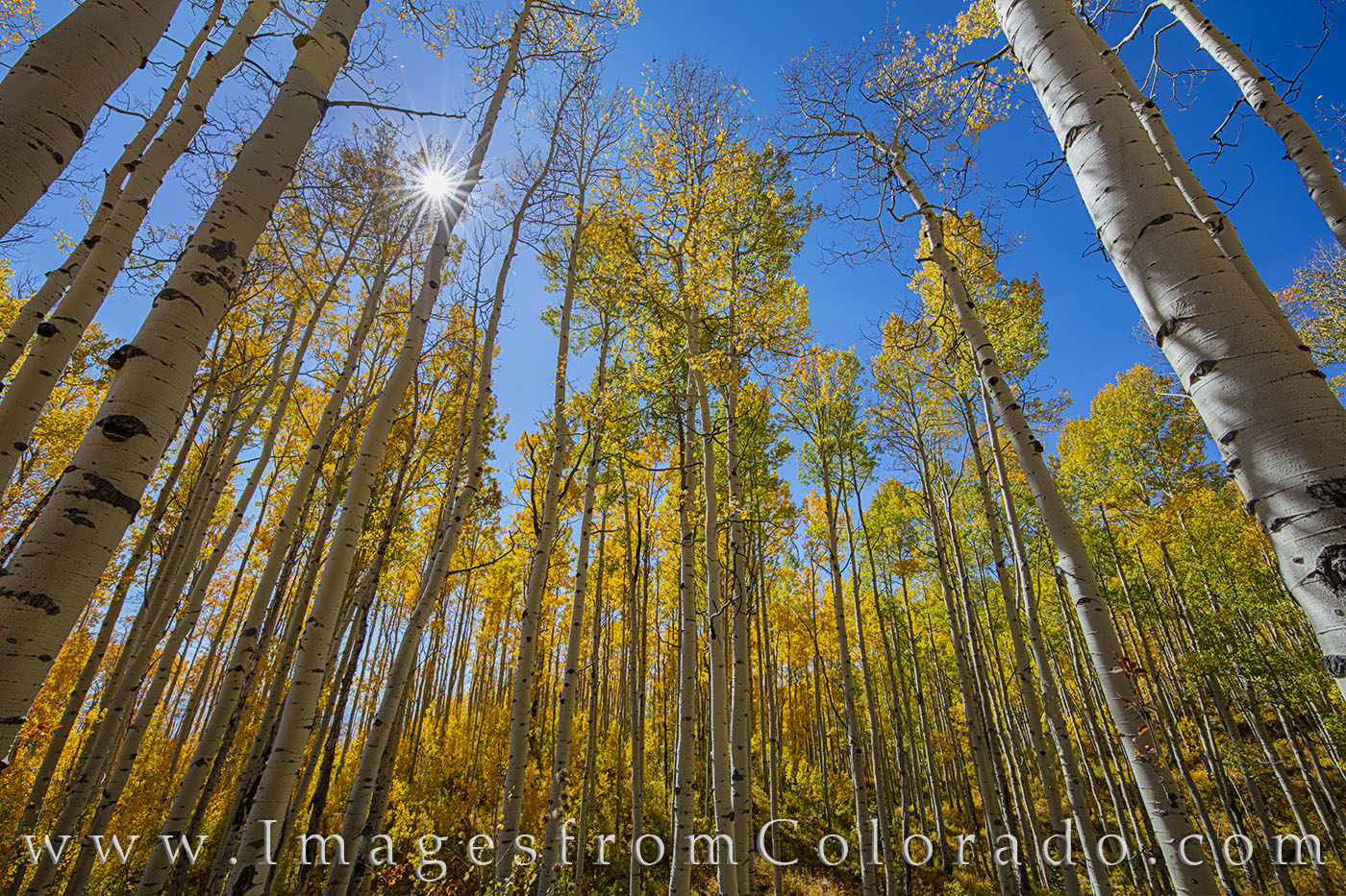 Aspen along Old Grand Mesa Road 1