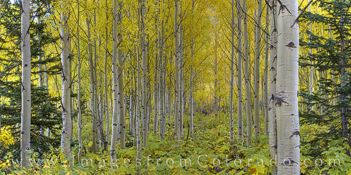 aspen trees, maroon bells wilderness, aspen, elk range, elk mountains, gold, yellow, fall, autumn, hiking, exploring, photo