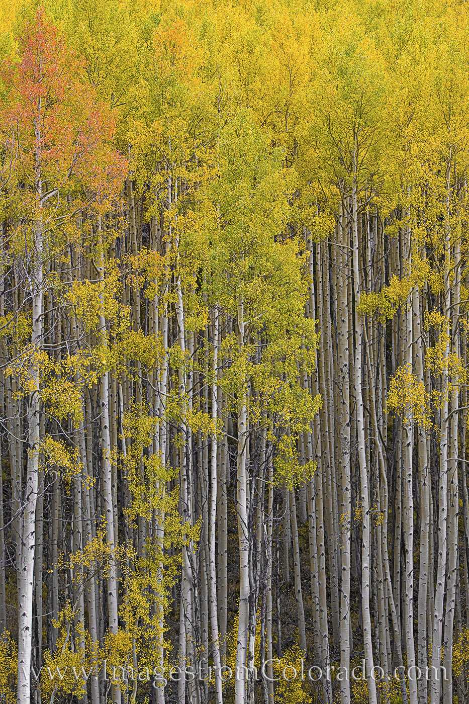 aspen trees, colorado aspen, aspen photos, colorado images, colorado aspen trees, colorado foilage, aspen, gold, yellow, fall, autumn, photo