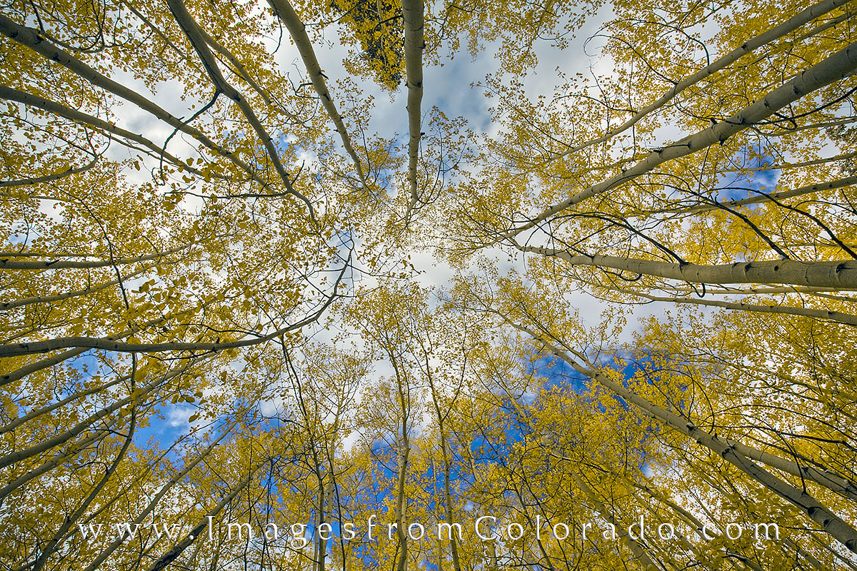 This photograph looks straight up into autumn aspen trees on a partly cloudy cool, crisp afternoon. Taken in Rocky Mountain National...