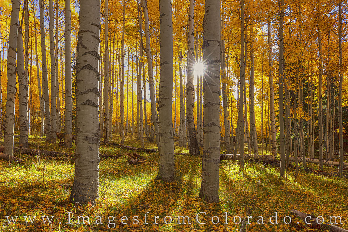 aspen, orange, sunlight, sunburst, san juans, autumn, fall, photo