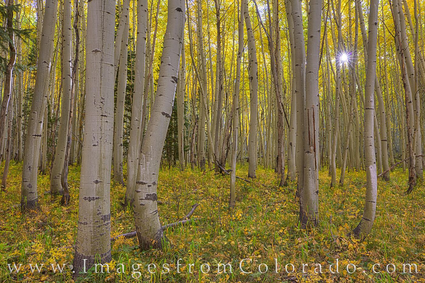 Sunlight peeks through a golden aspen forest on an October morning near Winter Park, Colorado.