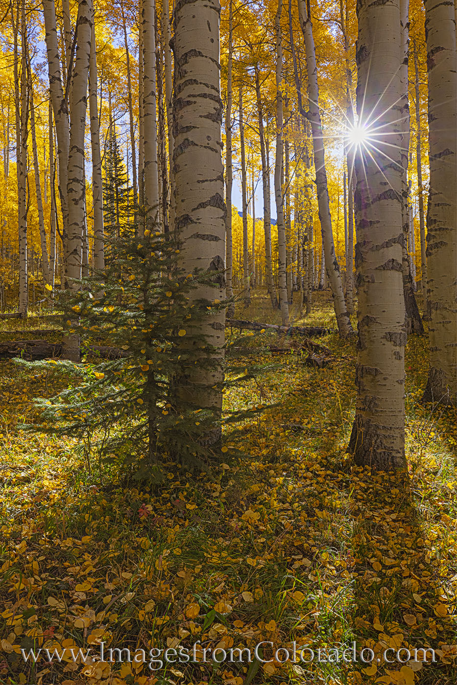 aspen, sunburst, gold, autumn, fall, san juans, october, shadows, photo