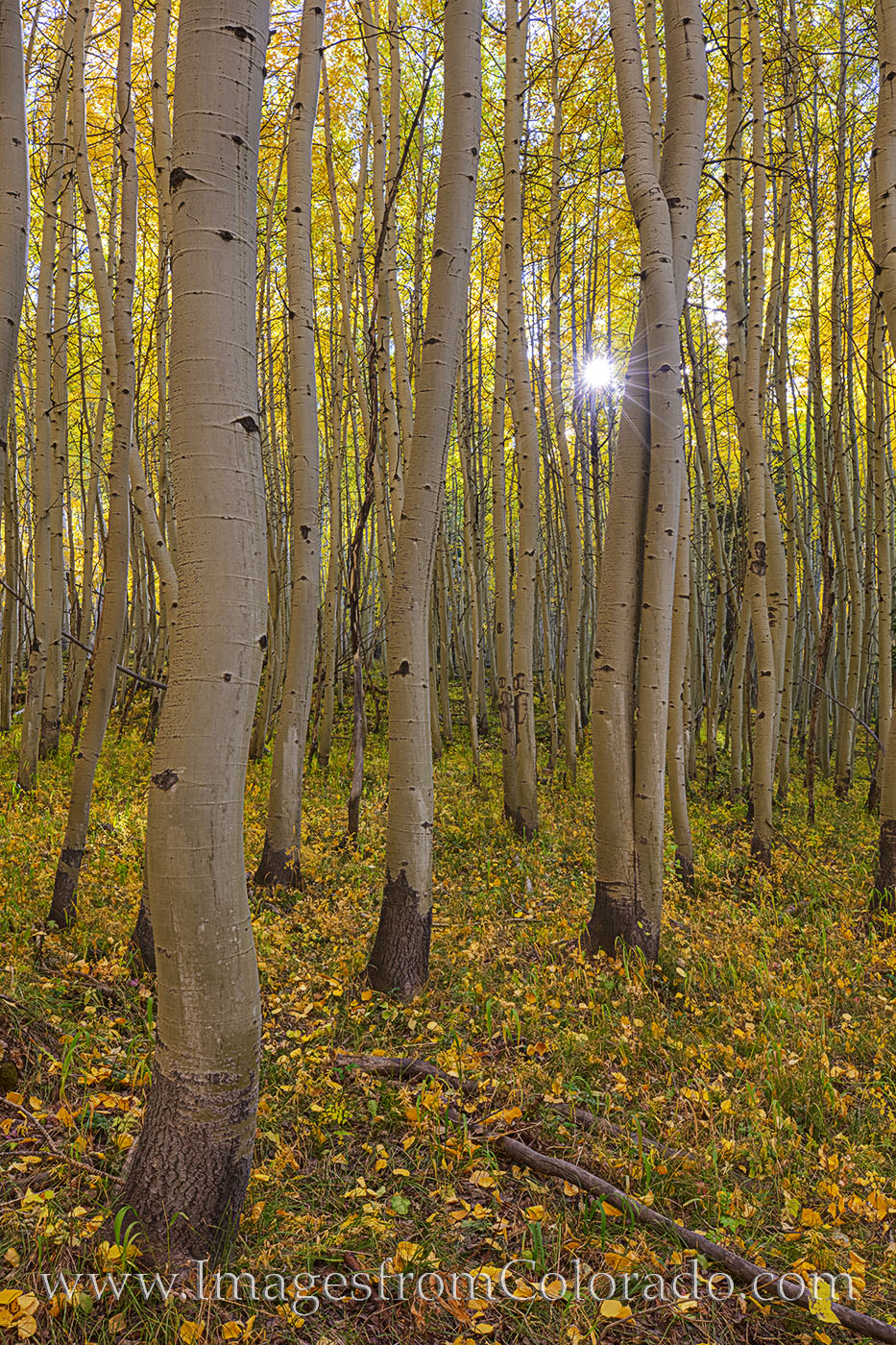 aspen, sunlight, sunburst, october, fall, autumn, san juans, forest, morning, photo