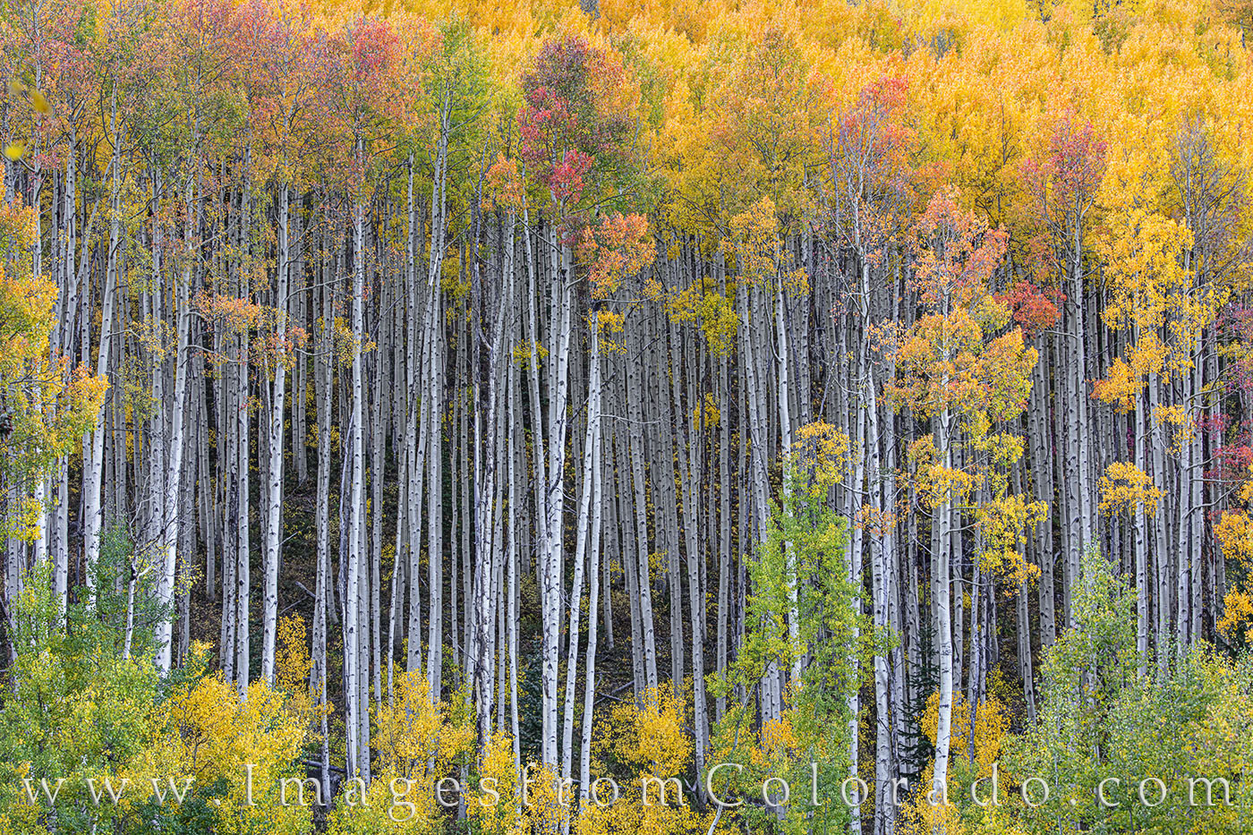 aspen, maroon bells, autumn, fall, orange, yellow, october, cool, photo