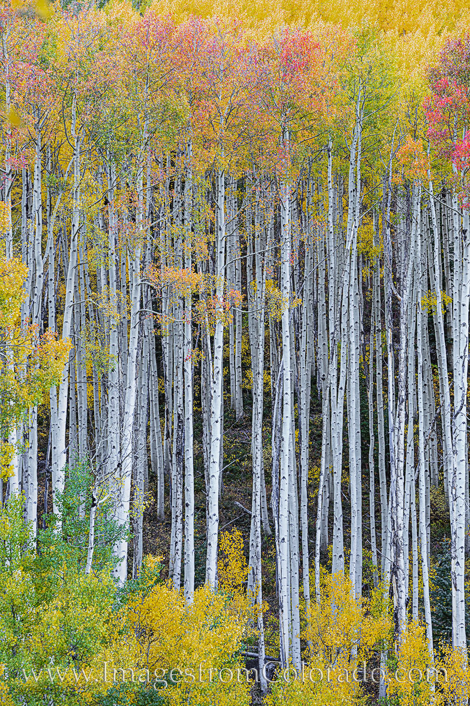 Pristine tree trunks of Aspen trees capped by gold and orange leaves show off the fall colors of the Maroon Bells Wilderness...