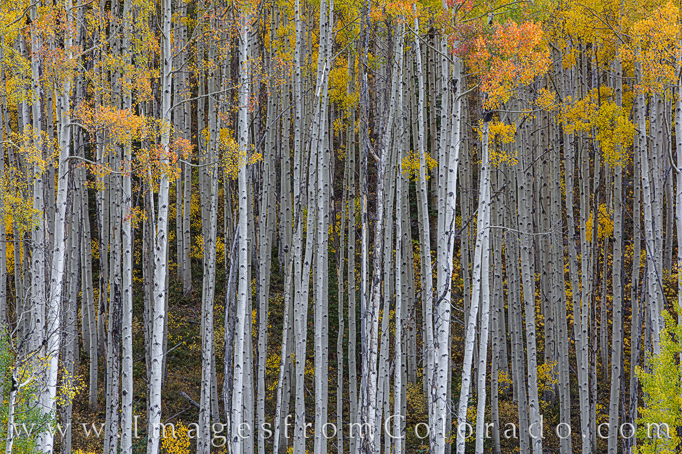 aspen, maroon bells, fall, autumn, orange, gold, maroon bells wilderness, photo