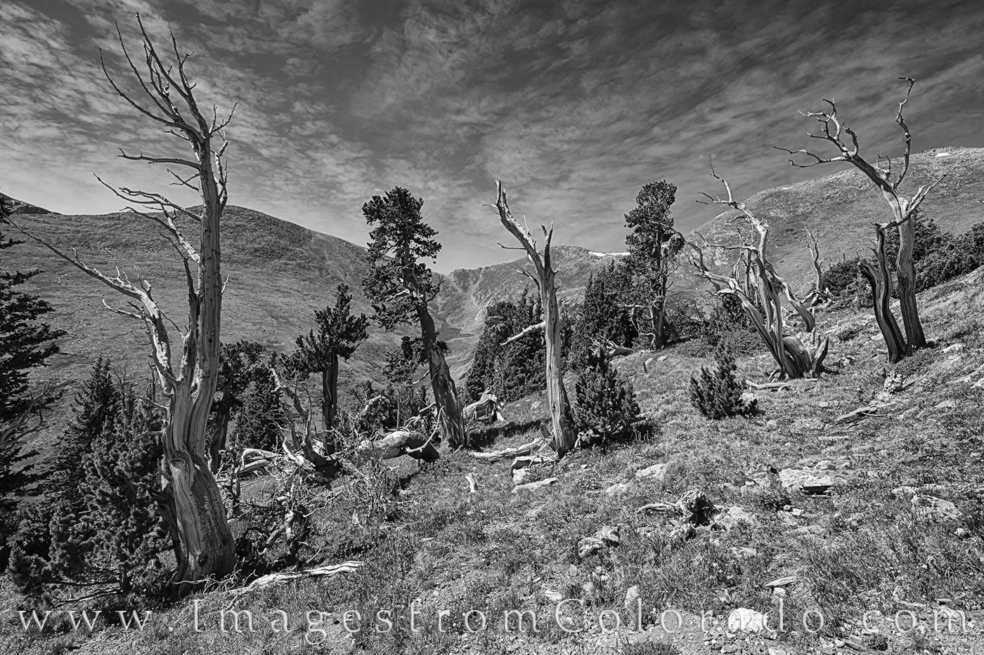 bristlecone pine, hell's hold trail, morning, idaho springs, hiking colorado, exploring colorado, photo