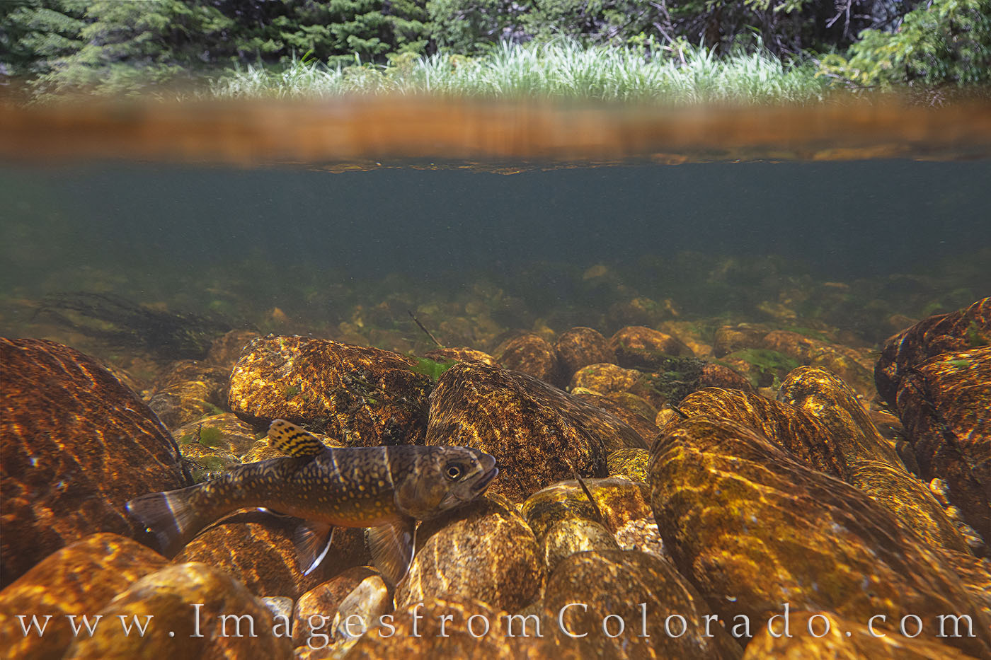 brook trout, north inlets, rocky mountain national park, underwater, fish, trout, grand lake, river, stream, photo