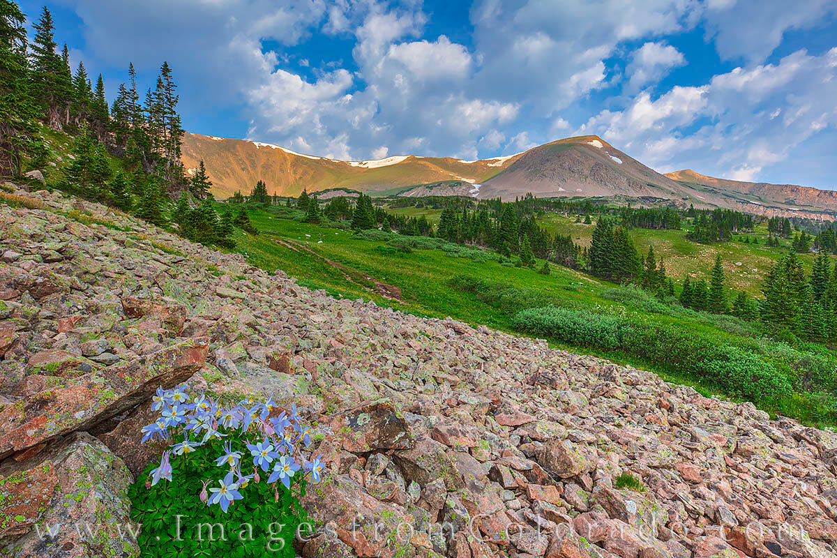 A patch of Columbine, Colorado's state wildflower, blooms at about 11,000' in Butler Gulch. This is part of the Butler Gulch...