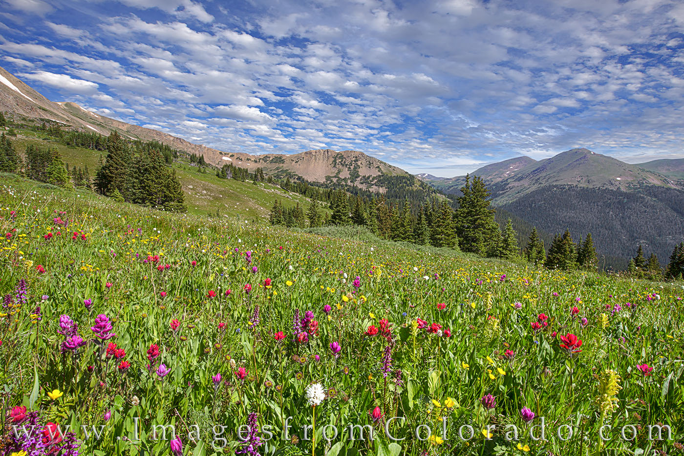 wildflowers, paintbrush, butler gulch, highway 40, winter park, berthoud pass, alpine flowers, summer, afternoon, photo