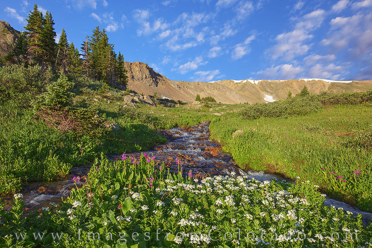 butler gulch, berthoud pass, clear creek county, stream, parrys primrose, morning, quiet, hiking, photo
