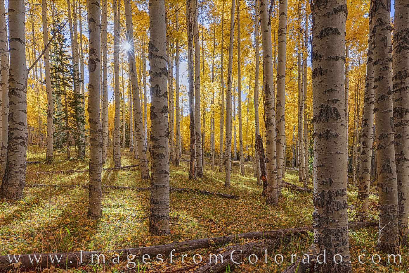 aspen, fall, autumn, colorado, fall colors, gold, sunlight, sunburst, photo