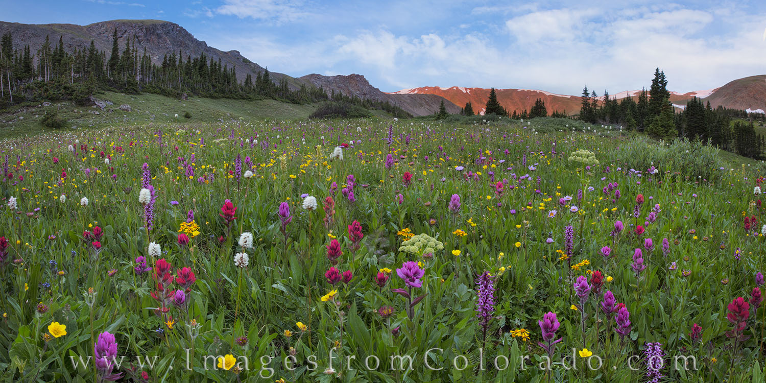 colorado wildflower prints, colorado wildflower photos, colorado wildflowers, butler gulch, berthoud pass, winter park colorado, empire, colorado landscapes, summer, spring, photo