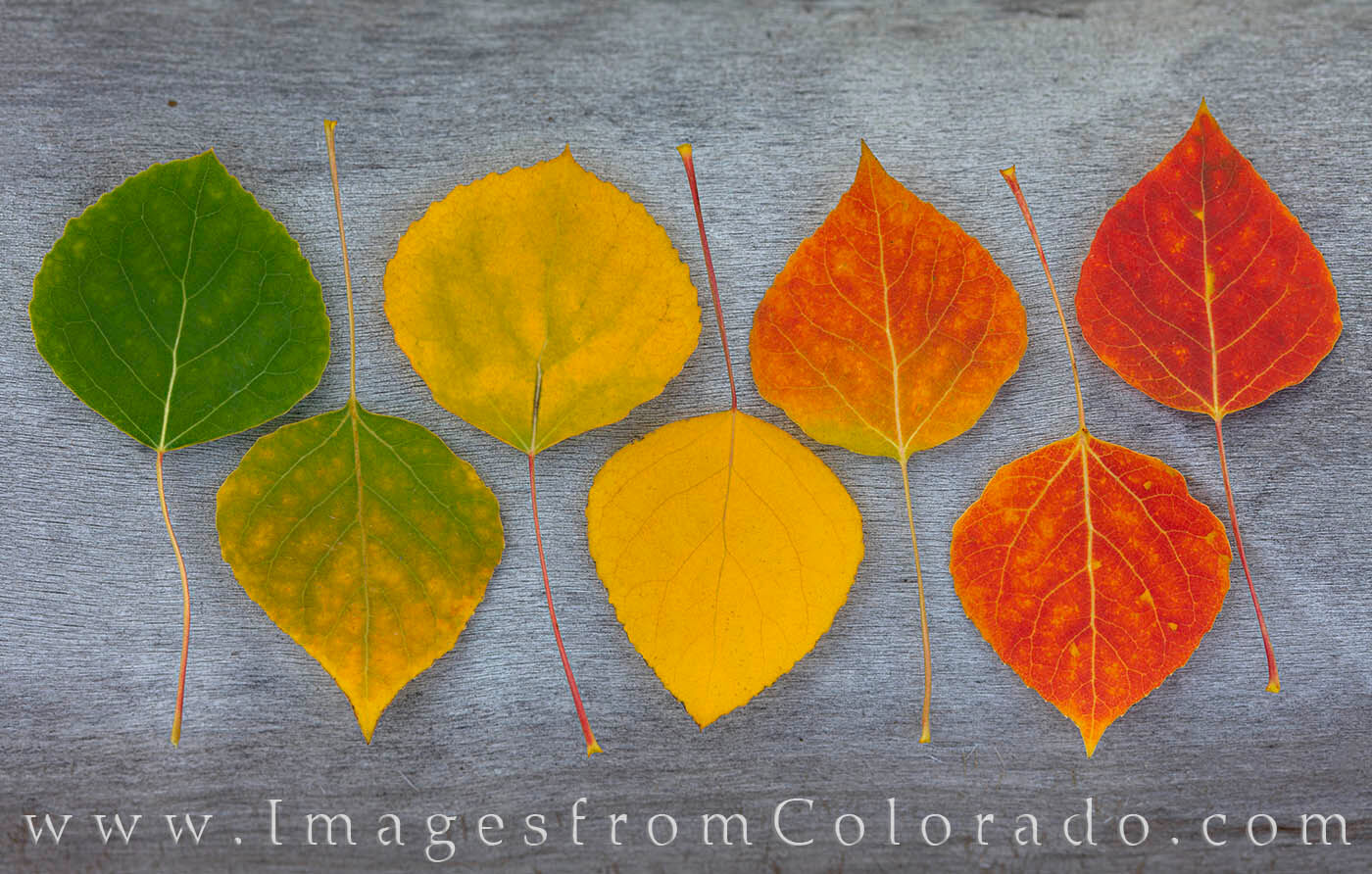 Colors of Aspen leaves flow from green to gold to red and display the range of beauty found each Fall in Colorado.