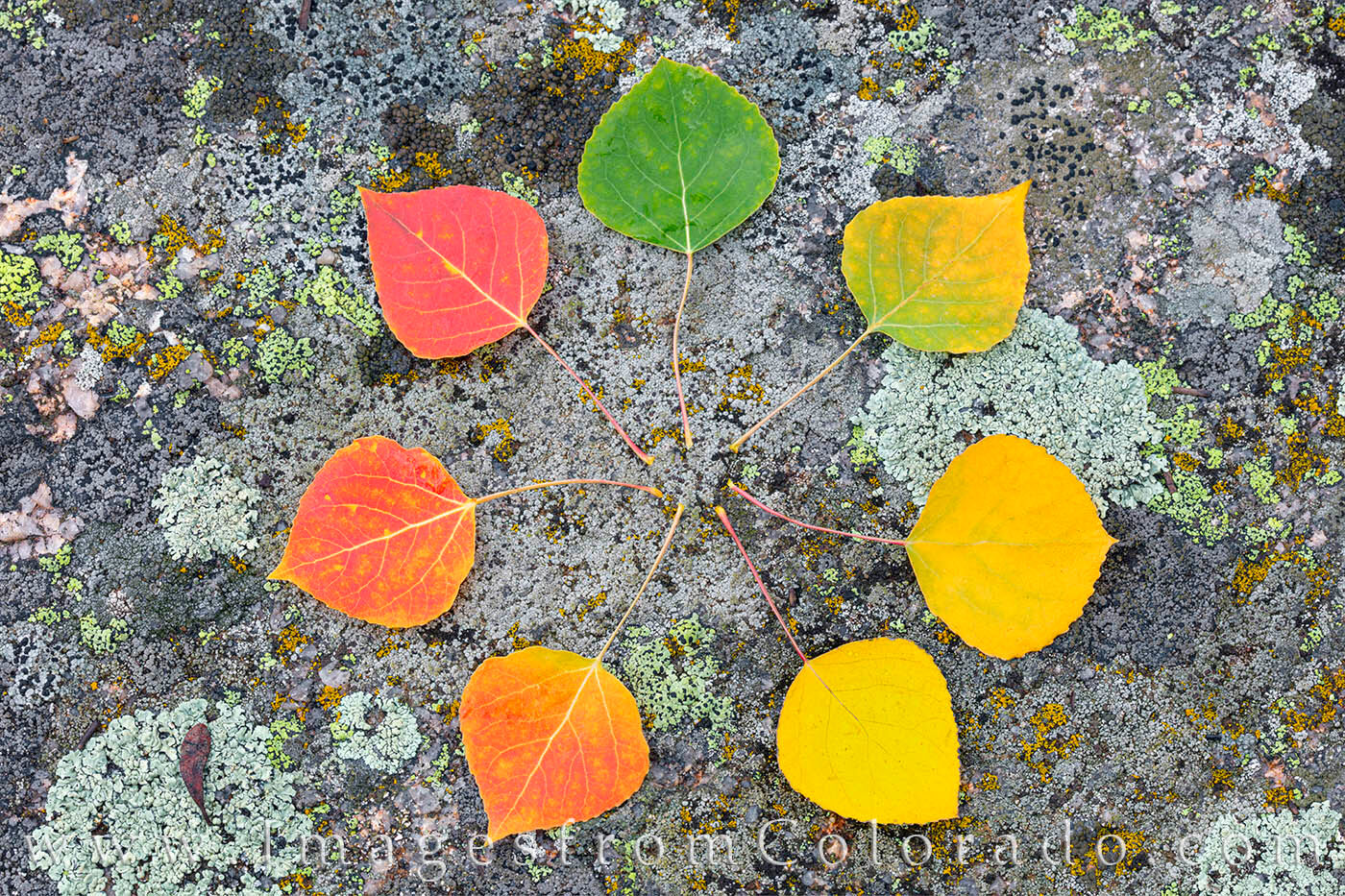 A circle of aspen leaves in Autumn show the colors of the season.