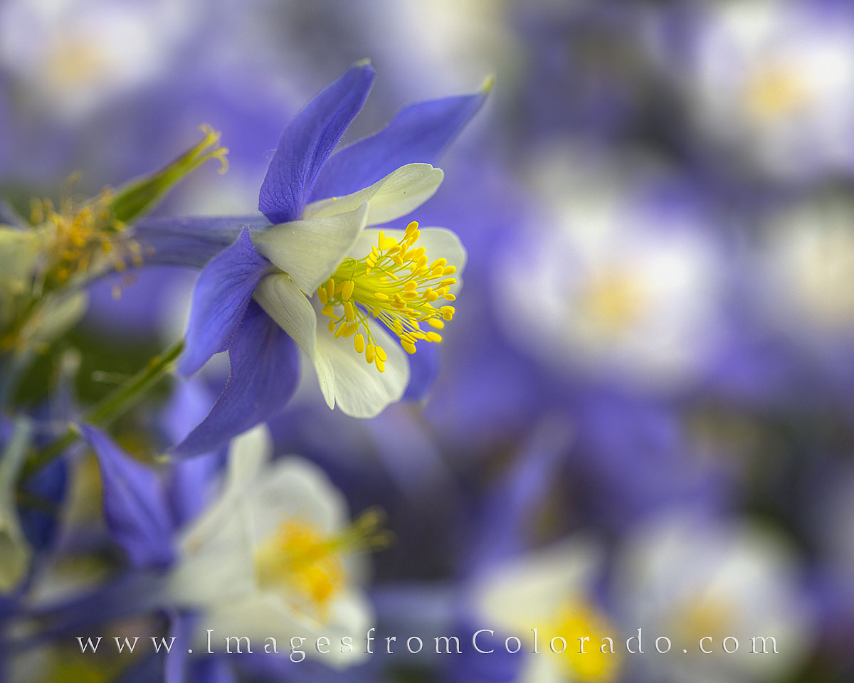 columbine, colorado wildflowers, colorado wildflowers images, columbine photos, wildflowers, colorado images, portraits, photo