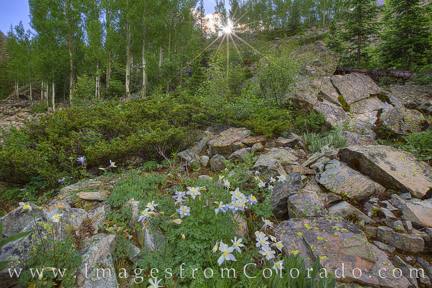 columbine, maroon bells, crater lake, colorado wildflowers, wildflowers, hiking, maroon bells wilderness, aspen, summer, morning, sunrise, photo