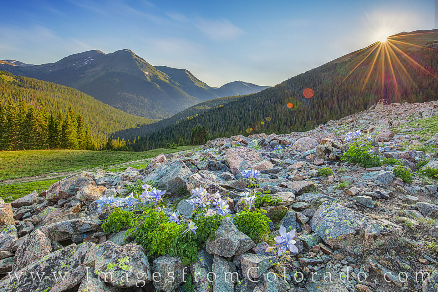 columbine, wildflowers, berthoud pass, butler gulch, sunrise, summer, blooms, wildflower prints, colorado prints, photo