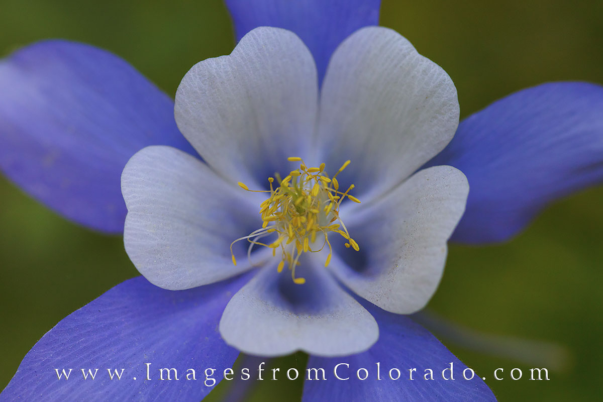 Columbine Wildflower Marcro 1 Winter Park Images From Colorado