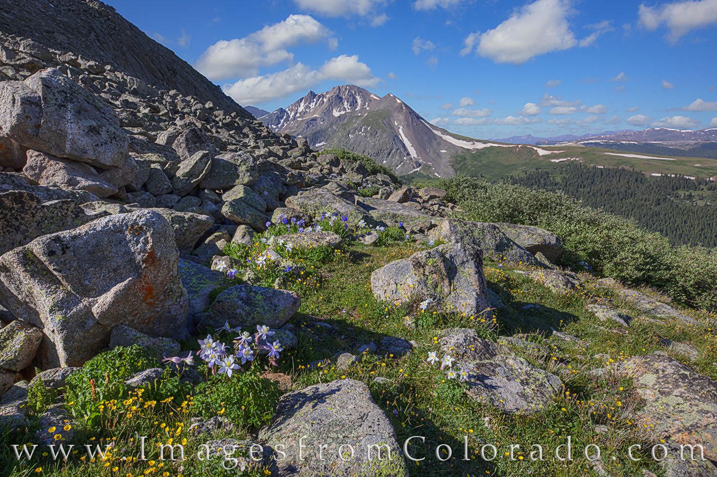 wildflowers, mayflower gulch, columbine, hiking colorado, morning, Columbine, wheeler mountain, fletcher mountain, summit county, photo