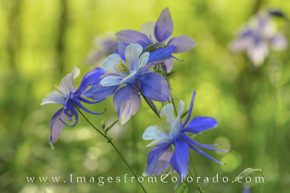 Columbine in Morning Sunshine 1