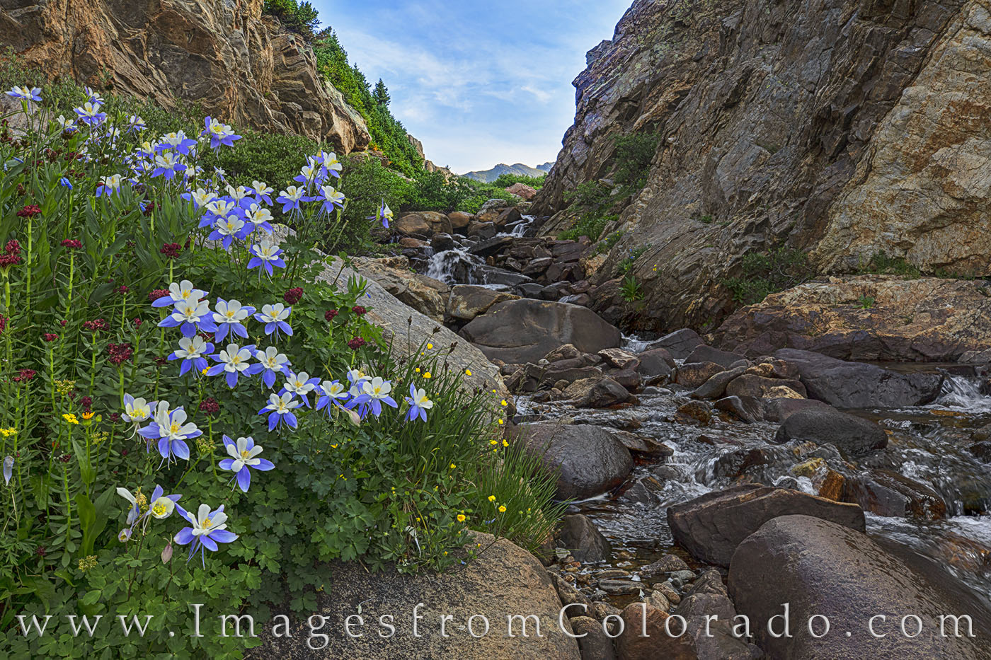 columbine, aspen, maroon bells, independence pass, lost man lake, lost man lake trail, lost man trail, wildflowers, colorado, hiking, summer, photo