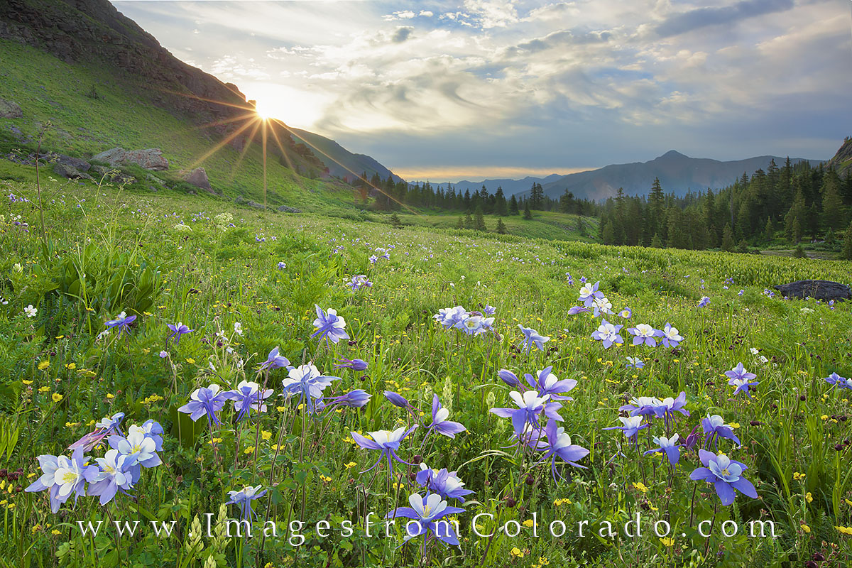 colorado wildflowers, colorado columbine, columbine, ice lakes, ice lakes trail, island lake, lower ice lake, upper ice lake, hiking colorado, colorado hikes, colorado summer, wildflower photos, photo
