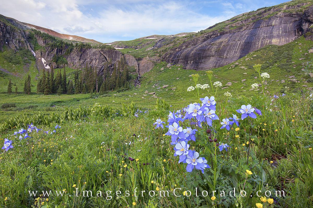 silverton, colorado wildflowers, columbine, ice lakes, ice lakes trail, wildflowers, summer, colorado summer, colorado hikes, hiking, hikes, san juan mountains, photo
