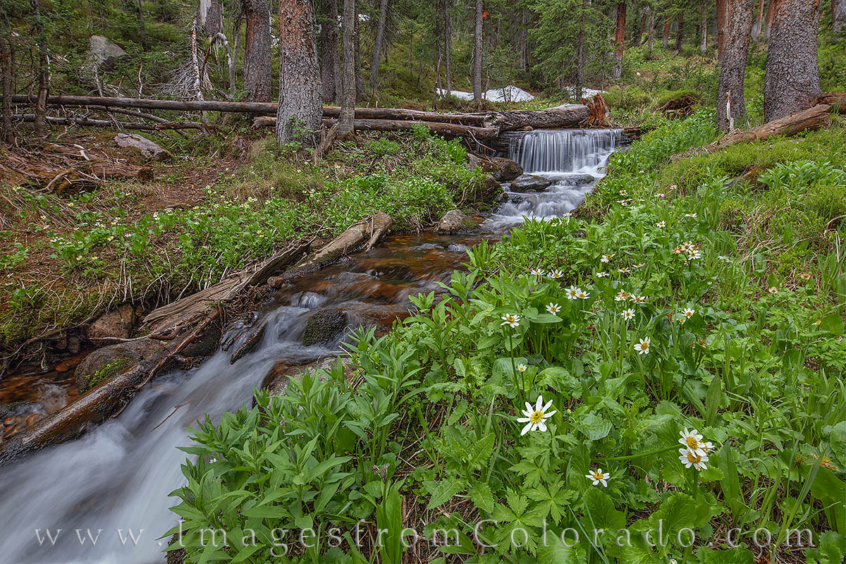 Early summer wildflowers adorn the banks of Current Creek, a high mountain stream near Berthoud Pass.