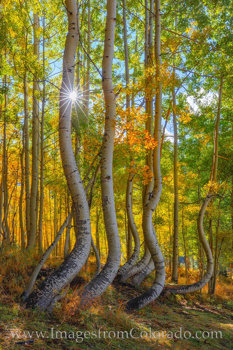 Aspen trees dance in the morning sunlight on a cold October morning. The Autumn colors are on full display in the warm rays....