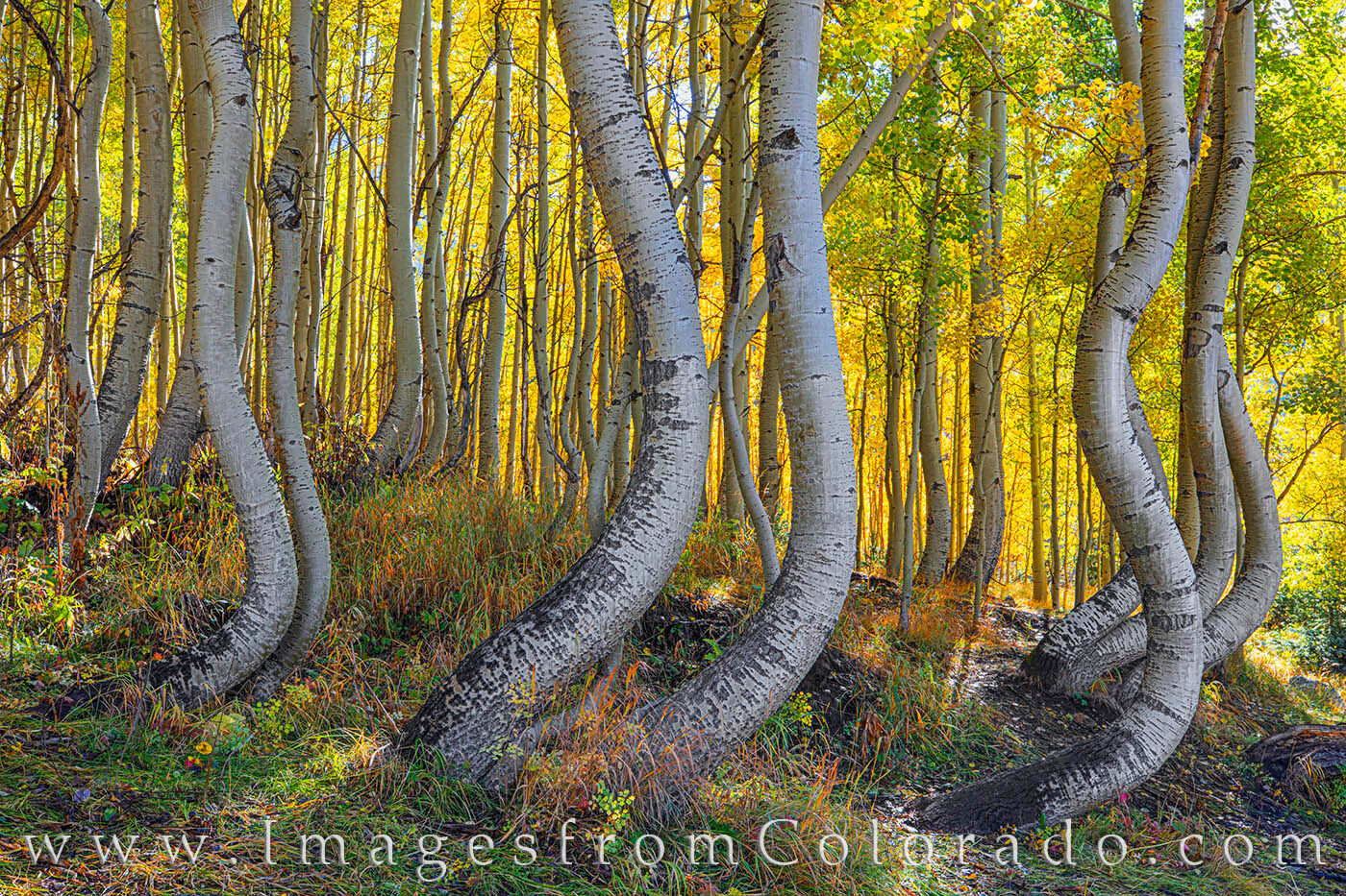 """Beauty trees known as the """"Dancing Aspen"""" bath in the warm morning light on a cold October morning. Not far from Telluride and..."""