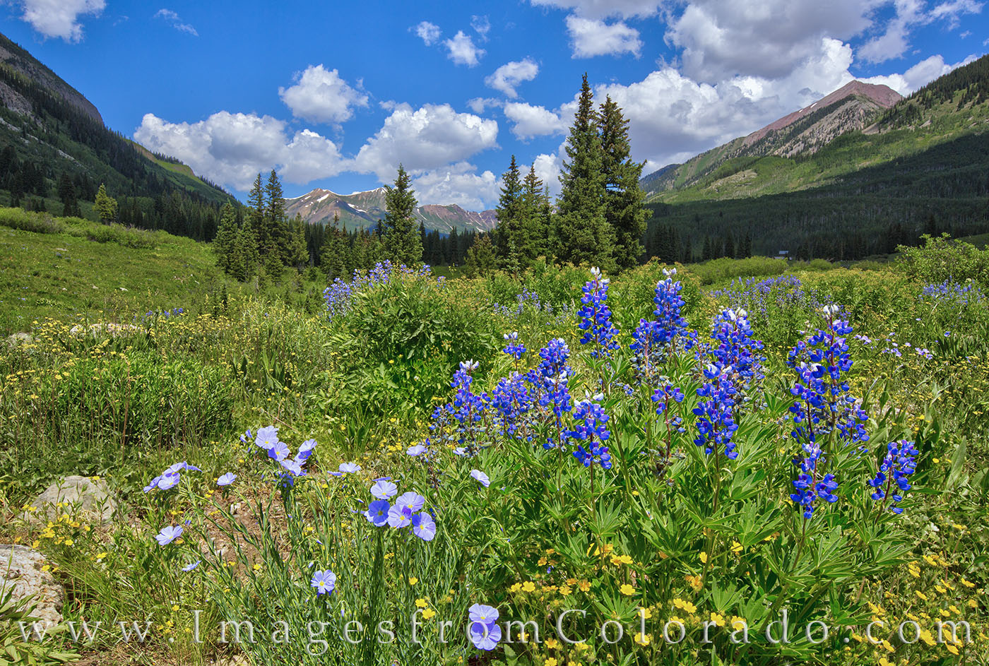 wildflowers, crested butte, gothic road, lupine, colorado wildflowers, elk mountains, summer, flowers, photo