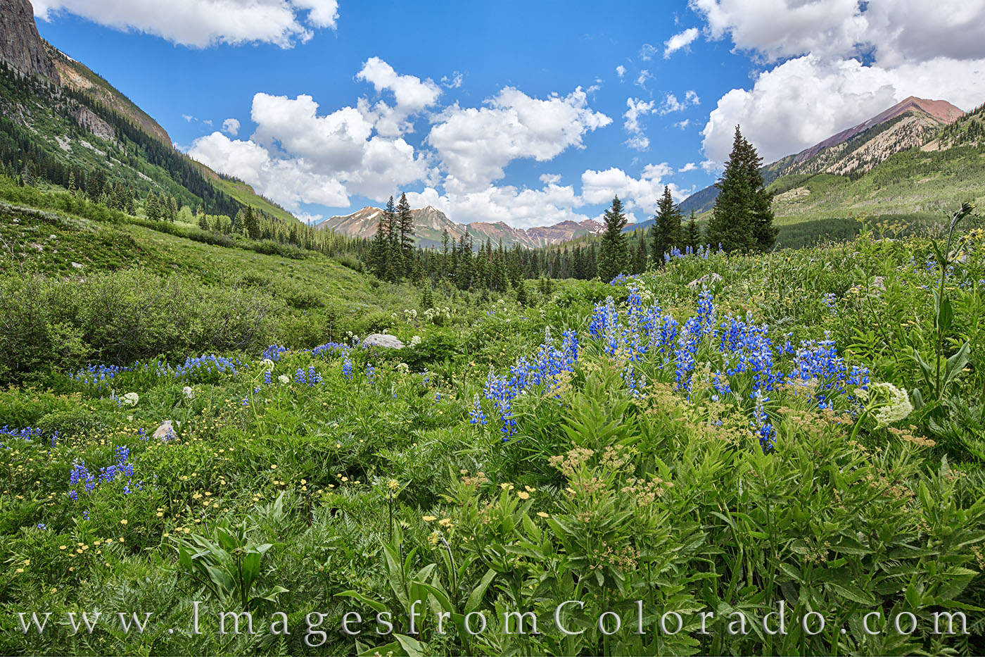 colorado wildflowers, wildflowers, lupine, crested butte, elk mountains, gothic road, blue, summer, morning, photo