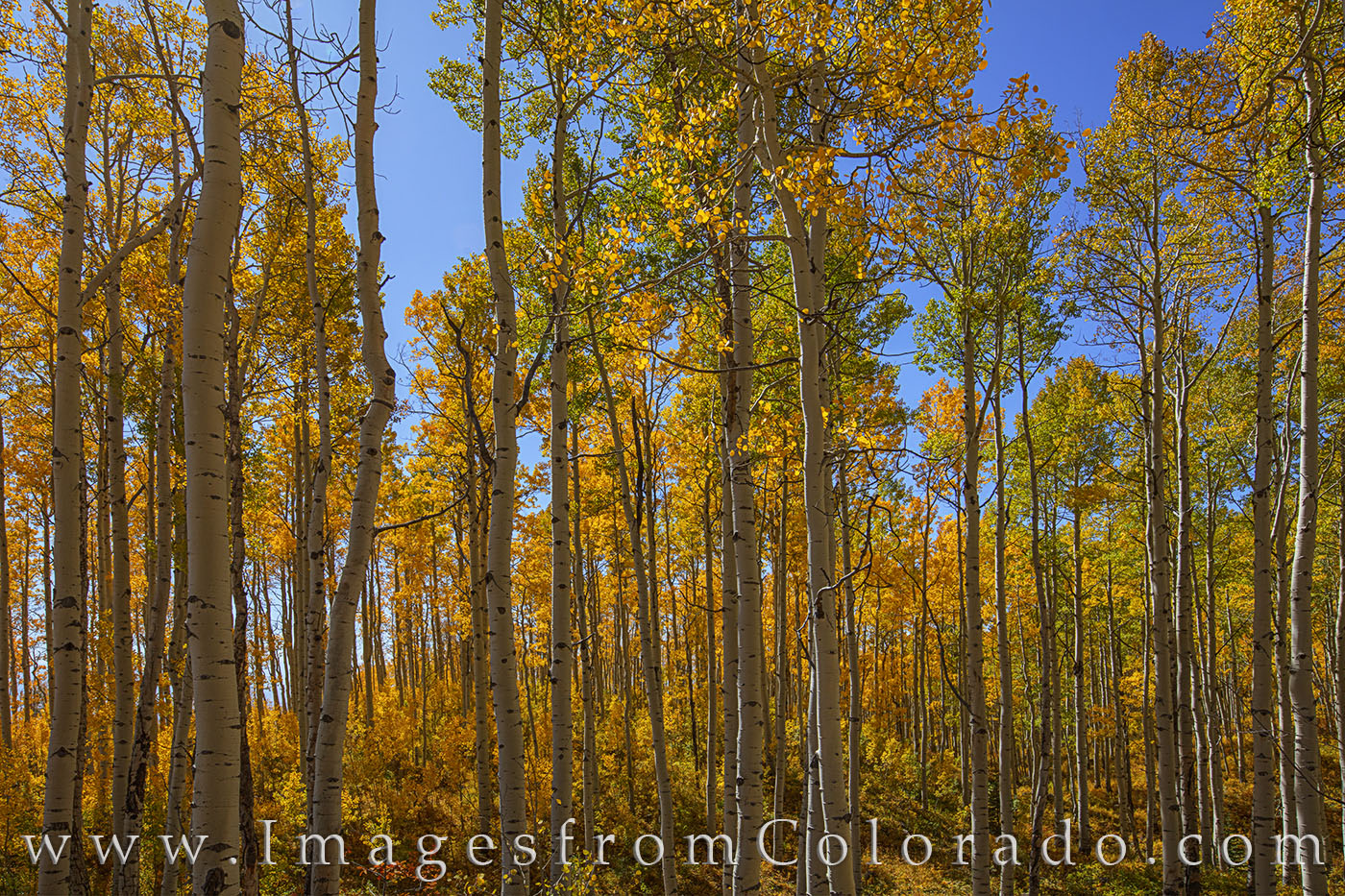 Leaves of orange and gold and green wave in the cool October breeze along Old Grand Mesa Road in the Grand Mesa area not far...
