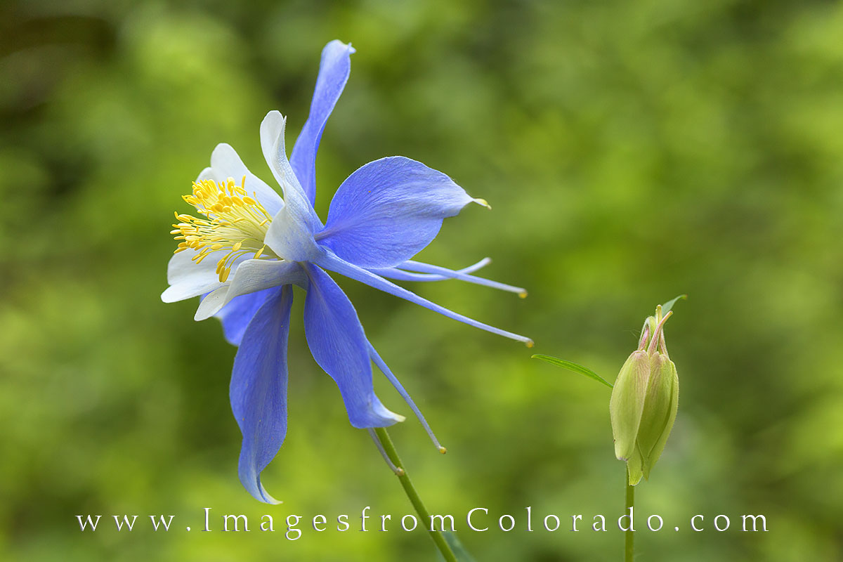 colorado wildflowers, columbine, flowers, photo